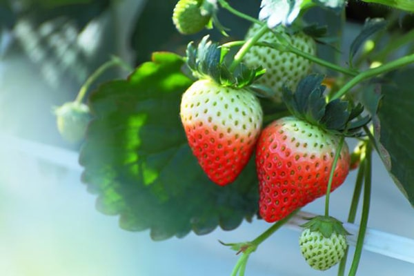 Strawberries in winter