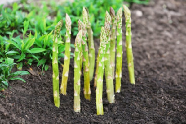 asparagus in winter